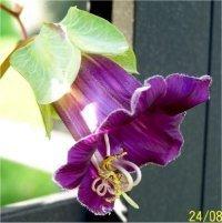 fleur de cobée