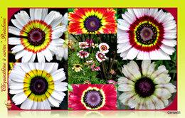 Chrysanthème à carène . . . Rainbown