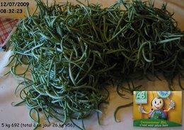 4ème récolte de haricots verts