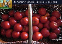 tomates Montfavet