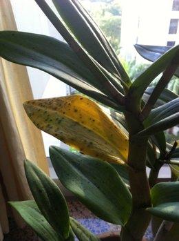 SOS Dendrobium ( je crois ) Feuilles qui jaunissent + Tâches noires partout