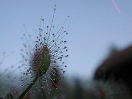 Nepenthes miranda juin 2009