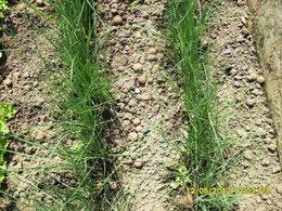 semis de poireau qui végètent
