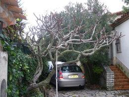 taille vieux arbres fruitiers (peu entretenus depuis longtemps)