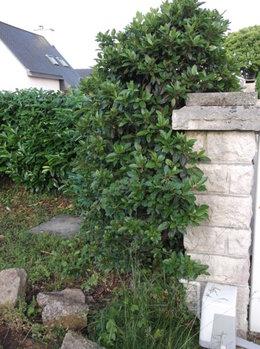 Arbuste inconnu ...