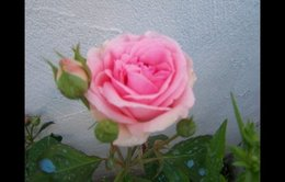 rosiers david austin