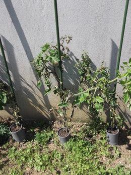 mildiou sur tomates et cornichons?