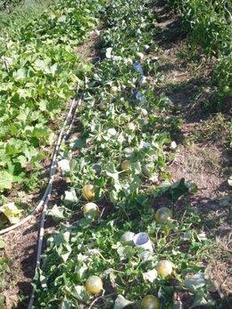 plants de courge envahissants  et plants de melons pleins de fleurs