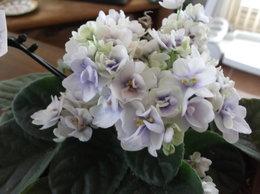 Saintpaulia 'Sassy Sister' - Violette du Cap - Violette africaine