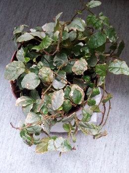 Débutante cherche à sauver son Ficus Pumila