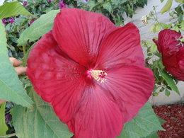 Bouturer l\'hibiscus moschetos | Forum jardinage