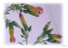 kalanchoé tubiflora