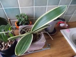 Floraisons rares de Phalaenopsis..