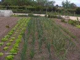 Semer les haricots