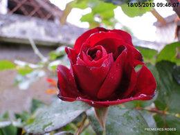 Premier bouton de rosier