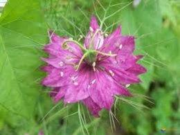plante aromatique ou mauvaise herbe ??
