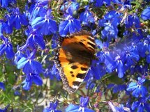 Papillon - Petite tortue