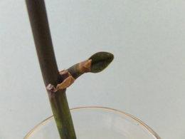 Pousse d'orchidée