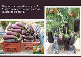 DERNIERE RECOLTE D'AUBERGINES