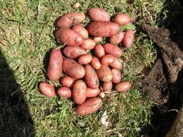 Au secours aux germes de pommes de terre