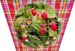 fraisier fresca