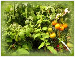 froid et tomates