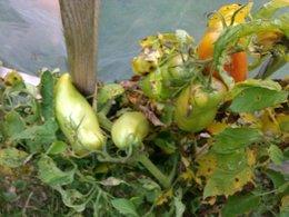 avez-vous encore des tomates sur pieds
