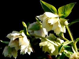 l'hellébore, la beauté de la reine de mars!