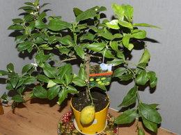 pourquoi les fleurs de mon citronier tombent?