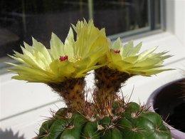 Cactus divers