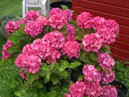 fleurs d'Hortensias déjà fanées