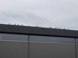 Les oiseaux d' Hitchcock