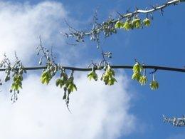 agave en fleur