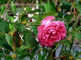 Ma rose de parfumeur!!!!
