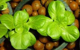 L'aquaponie ou comment les poissons font pousser des salades