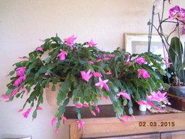 cactus de noel