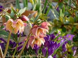 quand l'hellébore devient le plus bel atour du jardin!!!