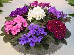 recherche Saint Paulia - violettes africaines