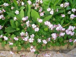 Géraniums vivaces