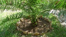 Transplanter un palmier en pot