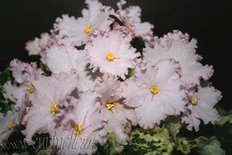 Les photos de mes saintpaulias et autres plantes d`intérieur