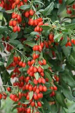 un goji (lycium barbarum)