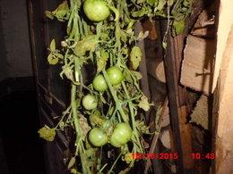 Comment faire murir des tomates