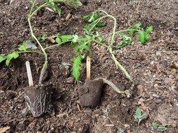 Planter et attacher des tomates - le truc facile