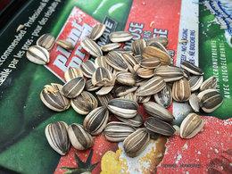 Comment planter des graines de tournesols géants