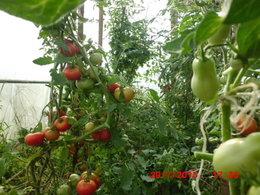 plants de tomates porte greffe