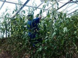 La tomate de BERAO ou la tomate arbre