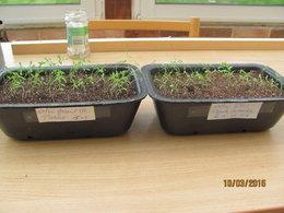 semis de celeri rave loupé et de pois cassés
