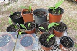 traitements des tomates