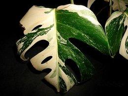 recherche un philo monstera a feuilles panaché